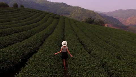 Aerial shooting from flying drone of a young woman tourist in sun hat is walking along tea plantations and enjoying beautiful field scenery while touching bushes during summer weekend in Thailand
