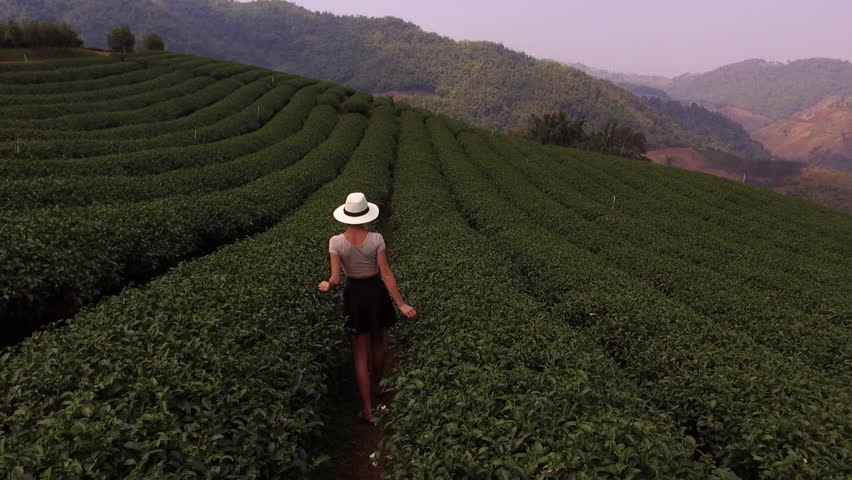Aerial shooting from drone of a young woman wanderer in sun hat is walking along field of tea bushes during her summer trip abroad. Female enjoying of amazing view of a coffee plantations