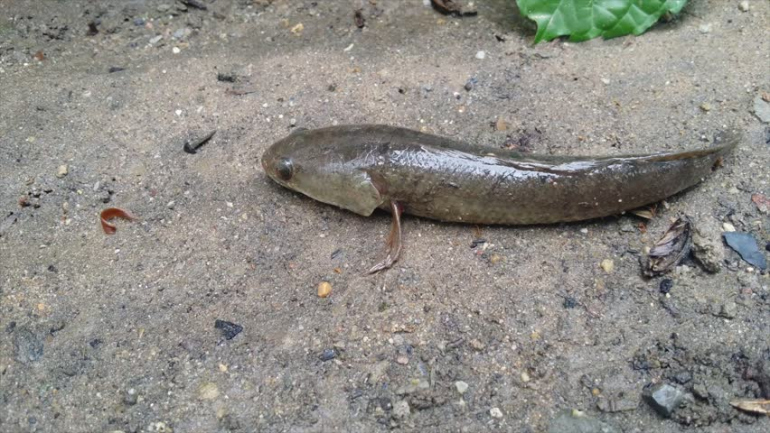 Image result for snakehead fish on land