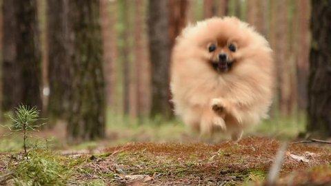 running dog.  little Pomeranian dog runs to the host