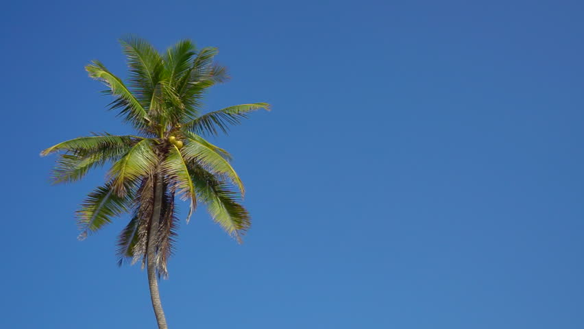 Swaying Palm Tree Against The Blue Sky Stock