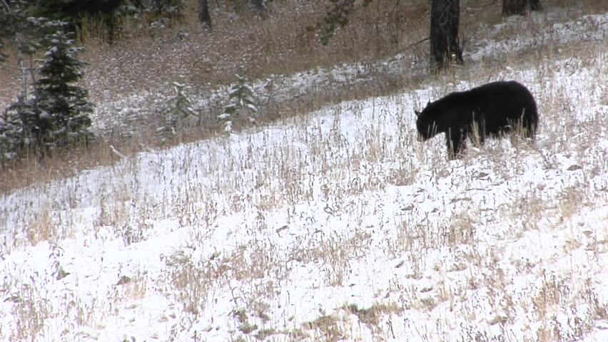 A black bear walks down a snowy hillside
