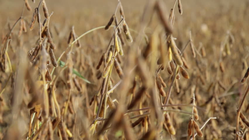 Fall Soybean Field - rack focus