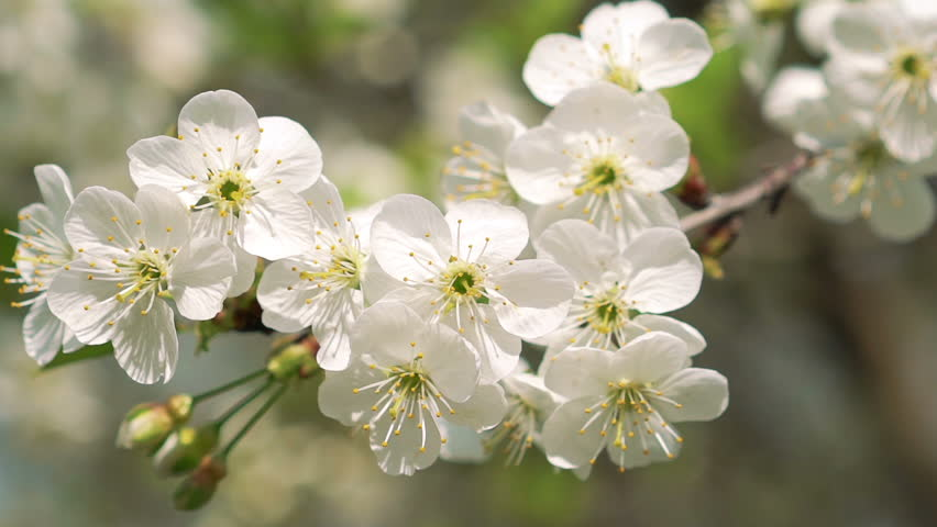 Wonderful Cherry Twig With Colourful Stock Footage Video 100