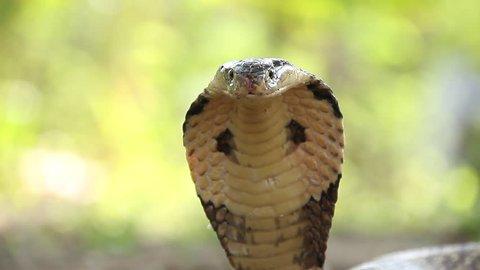 Cobra in Thailand