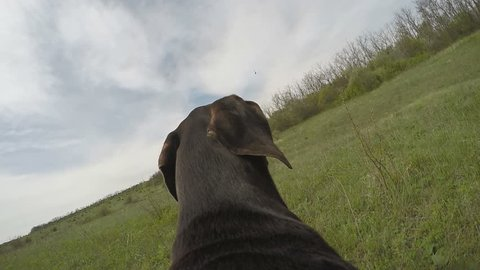 Hunter dog running with camera on the back. Slow motion.