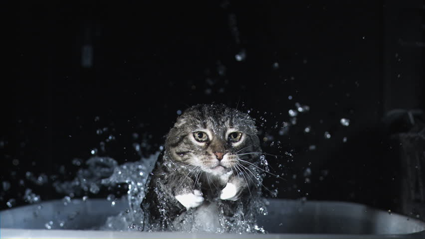 SLOW MOTION frightened cat falls into bath, splashing water and leaping out, looking into camera and shaking water off head, take 2