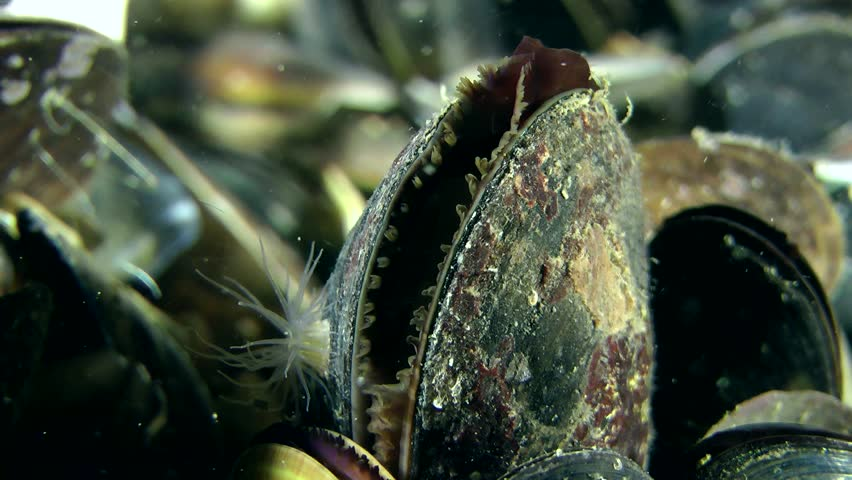 Movement of the mantle in slightly open mussels shell.