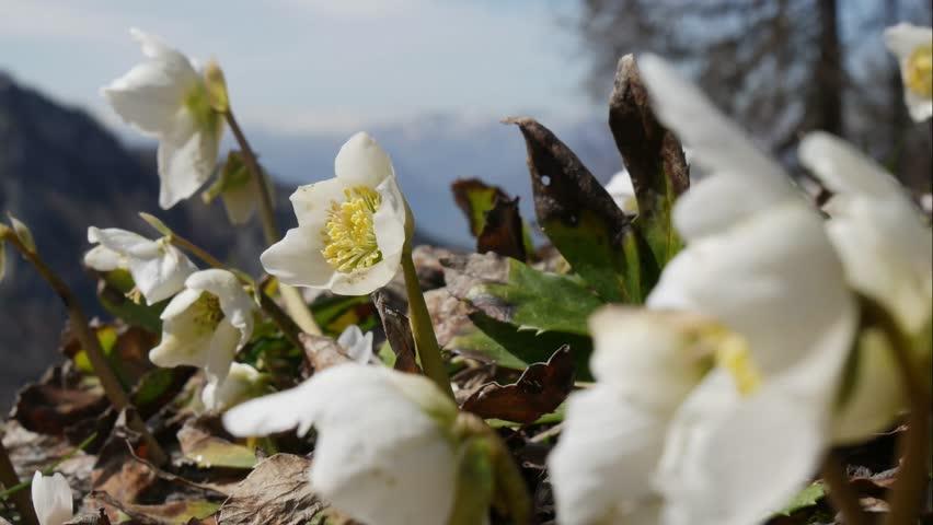 Anemone White Flowers Anemone Nemorosa Stock Footage Video 100