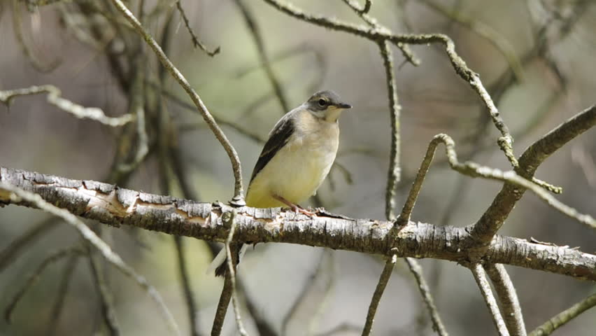 A grey wagtail (Motacilla cinerea) fledgling moves along a branch to avoid some passing ants