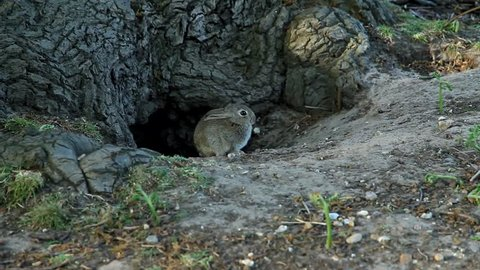 Grey hare sitting near a tree. The hare runs into the hole under the tree