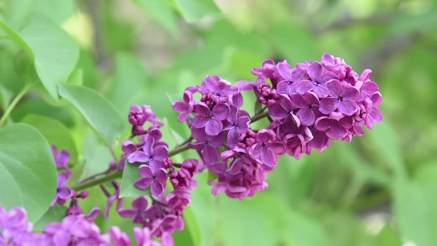 Lilac Flowers On Blur Background Of Green Foliage Hd Stock Footage Clip