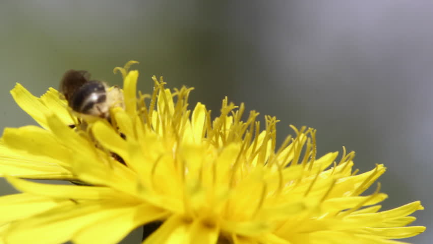 Bee Collects Nectar In The Dandelion