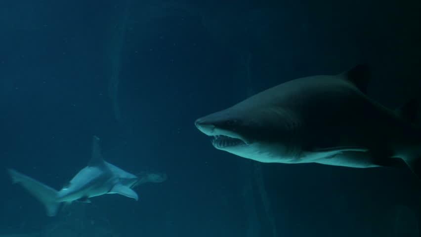 Bull shark. Filmed in May 2016. | Shutterstock HD Video #16532515