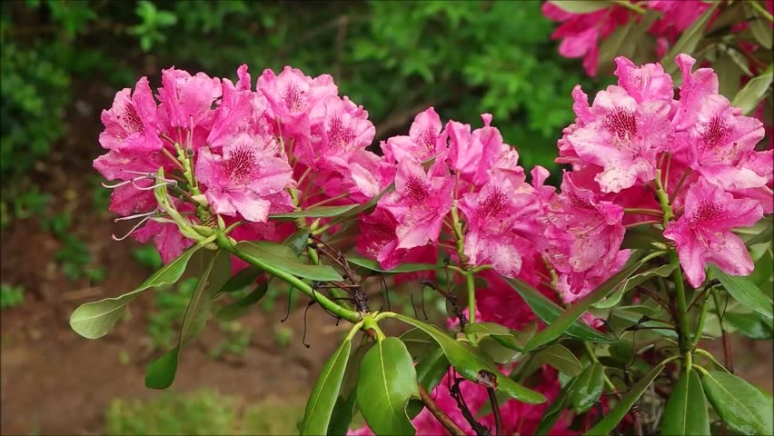 pink rhododendron bush blossoms