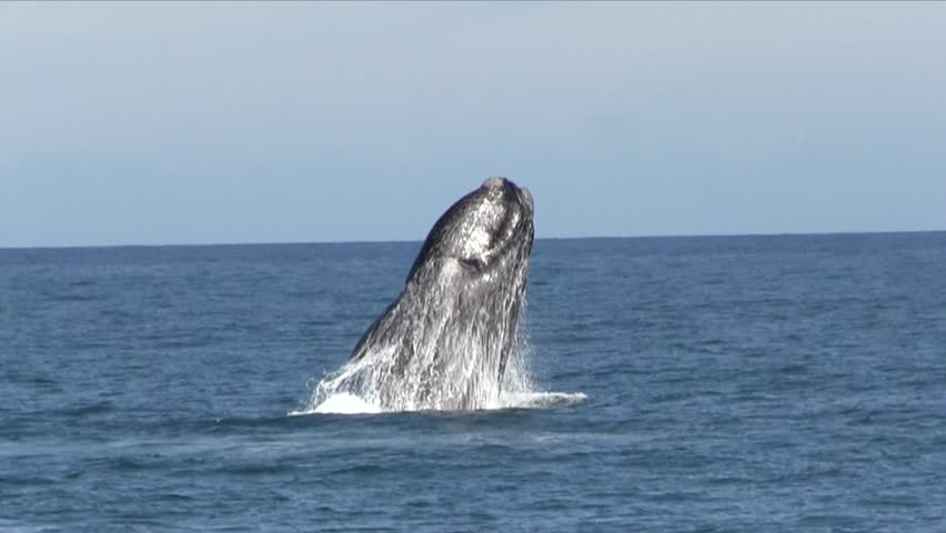 Southern Right Whale Breaching #16690135