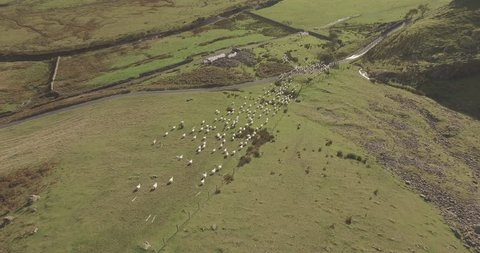 AERIAL: Sheep being herded by a sheep dog in the mountains of Snowdonia, UK.