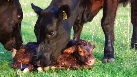 New born calf beautiful cute cow minutes after birth mother cow and another cow licking young infant vigorously clean baby cow Aberdeen Angus cattle beautiful summer evening on green grass field