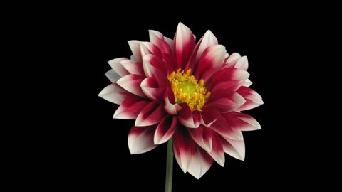 Time-lapse of blooming red-white dahlia 1a3 in RGB + ALPHA matte format isolated on black backgrouand
