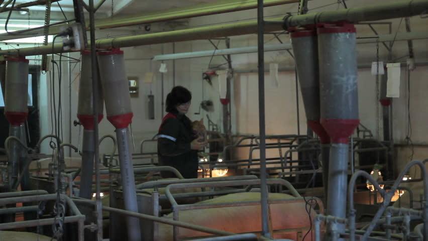 Inside view of pig farm in Eastern Europe | Shutterstock HD Video #16772425