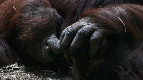 orangutan masturbating. Zoo Madrid, Spain. Filmed in May 2016.