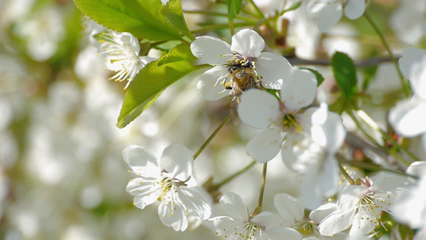 Stock video clip of bee pollinating flowering trees spring flowers stock video clip of bee pollinating flowering trees spring flowers slow shutterstock mightylinksfo