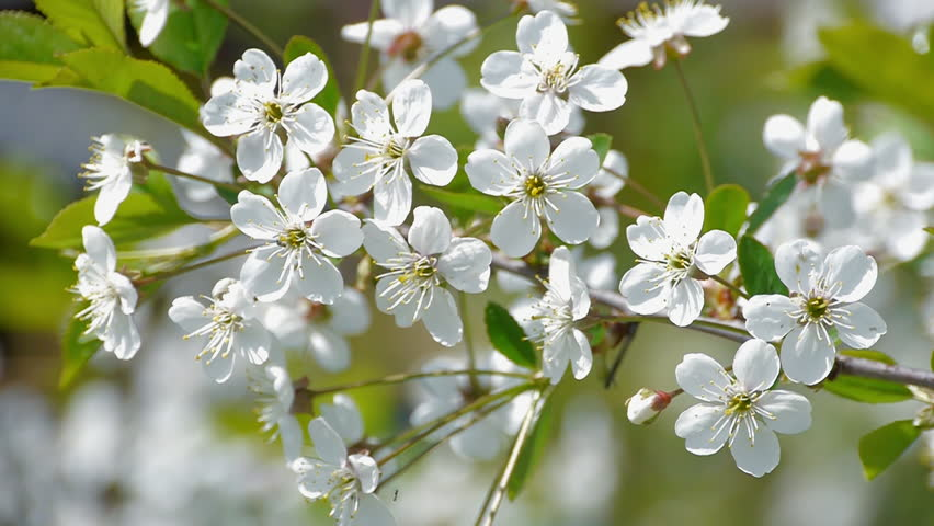 cherrytree blossoming. white flowers and green leaves against a, Natural flower