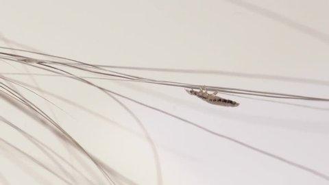 louse on a human hair