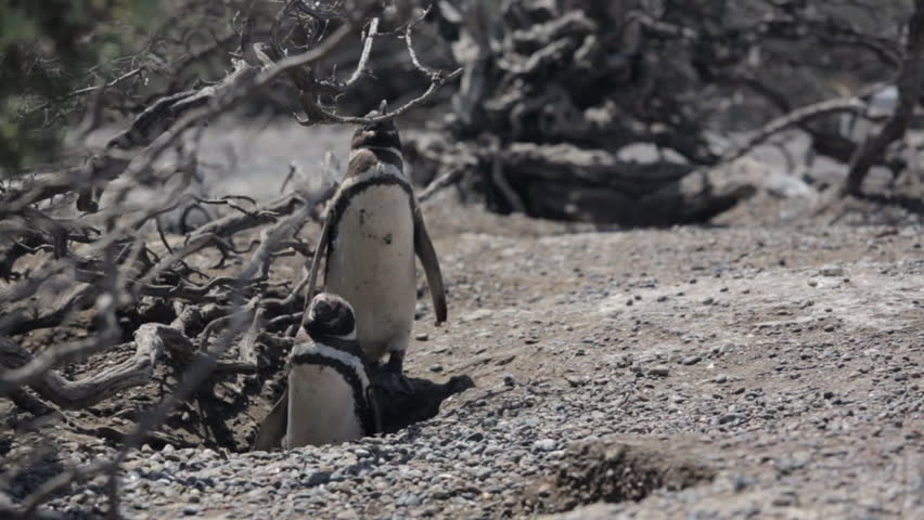 Two Magellanic penguin resting in windy condition at Punta Tombo, Argentina