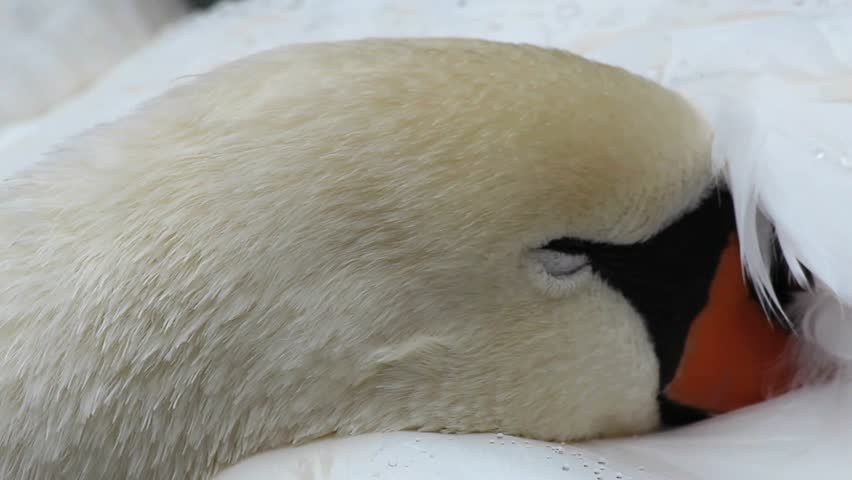 Close-up of a beautiful swan face, its beak nuzzled in white feathers glistening with drops of water. 1080p