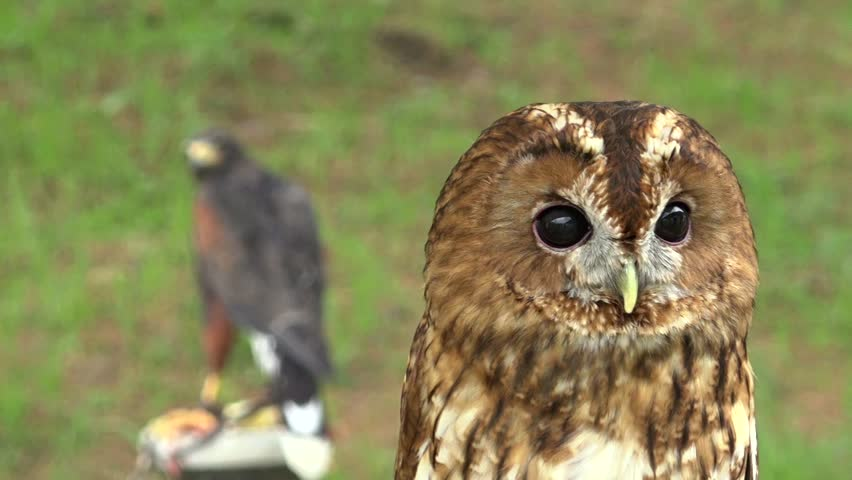 Tawny owl (strix aluco) looking around and shaking his head in a medieval reenactment #16872565