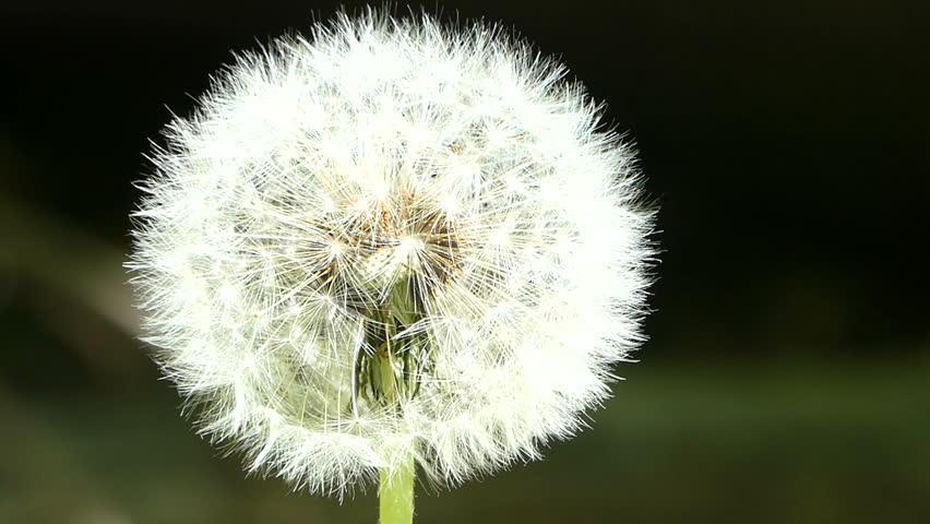 Close-up  Dandelion flower head HD Stock Footage   Shutterstock HD Video #16890085
