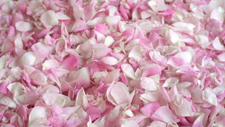 Tea rose petals collected by woman hands. Petals fall down through finges. Ripe tea rose petals harvested in spring. UHD 4k
