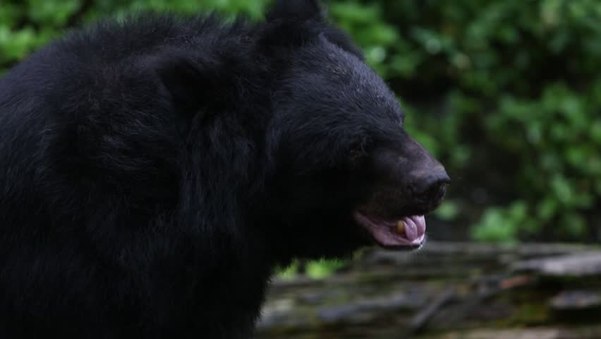 formosan black bear 2 essay In the formosan black bear's webquest, you will learn: 1 different types of bear around the world an indigenous bunun hunter once said, if there were no bears in mountains, the forest will look empty and i will feel lonely we do not wish to lose this soul of taiwan's mountains.