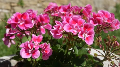 a pot of geraniums. Geranium is a genus of 422 species of flowering  plants that are commonly known as the cranesbills.