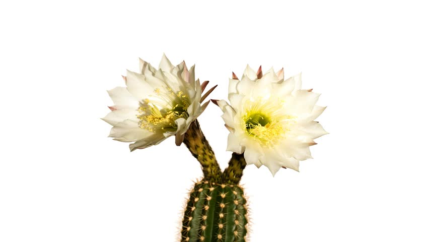 Header of Trichocereus