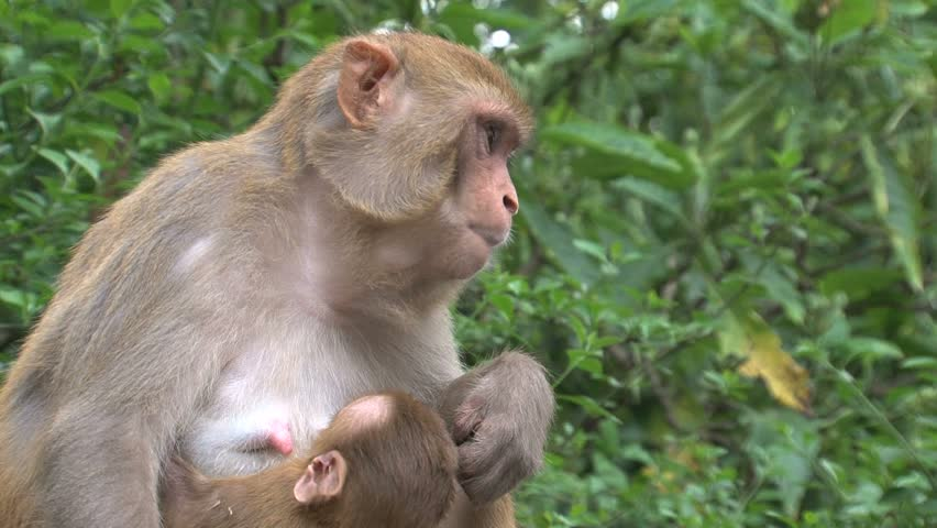 monkey sex videos The Red Effect, in People and Monkeys   WIRED.