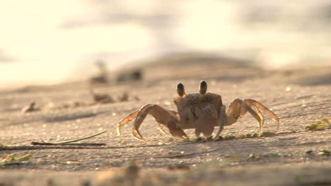 Sand crab scavenges for food at sunset on the sandy beaches of Maui, Hawaii.