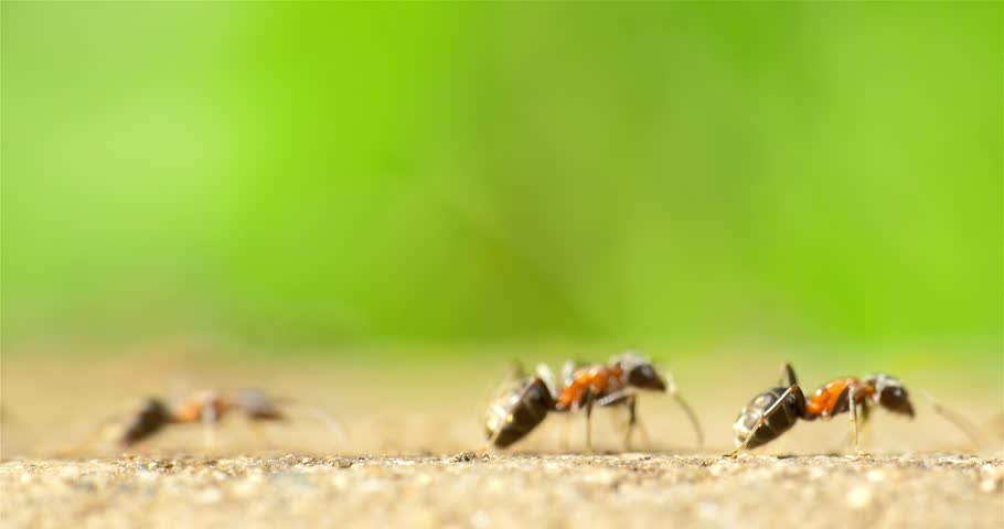 Ants Marching On Forest Path