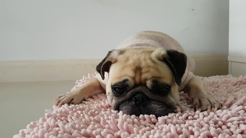 Close Up Face Of Cute Pug Puppy Dog Sleeping By Chin And