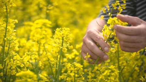 Male Farmer in Oilseed Rapeseed Cultivated Agricultural Field Examining Canola