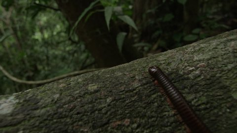 Millipede walks over tree trunk, Thailand, May 2015