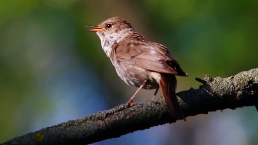 nightingale singing on a tree branch, live sound