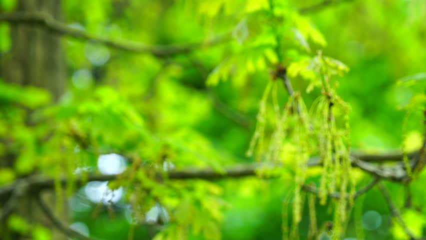 Oak tree in the forest #17391355
