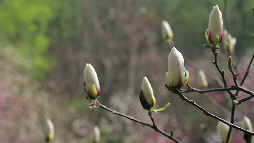 White Magnolia Bud Flowers Of Arkivvideomateriale 100 Royalty