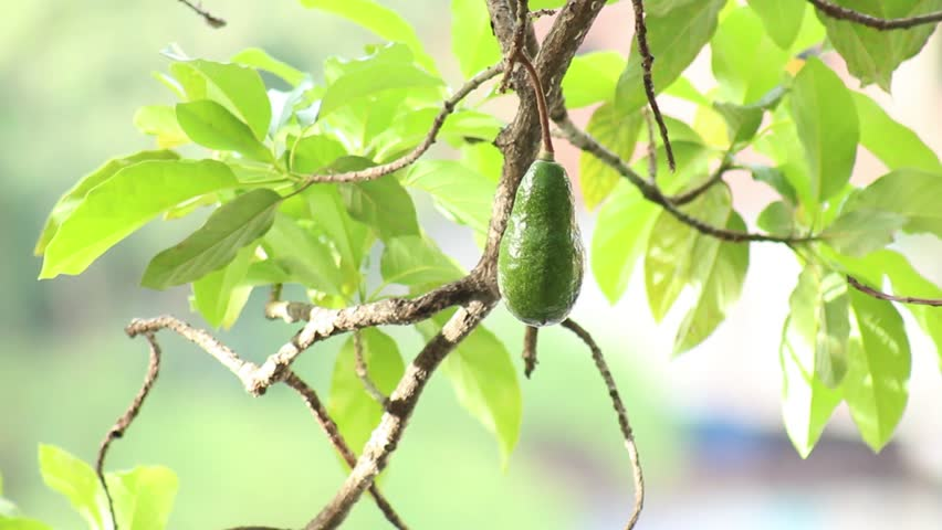 Header of Aguacate