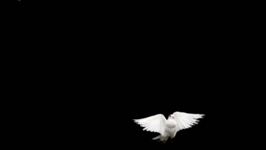 Two white doves. Slow motion, alpha matte. Ready for compositing. Good for wedding backgrounds or titles.