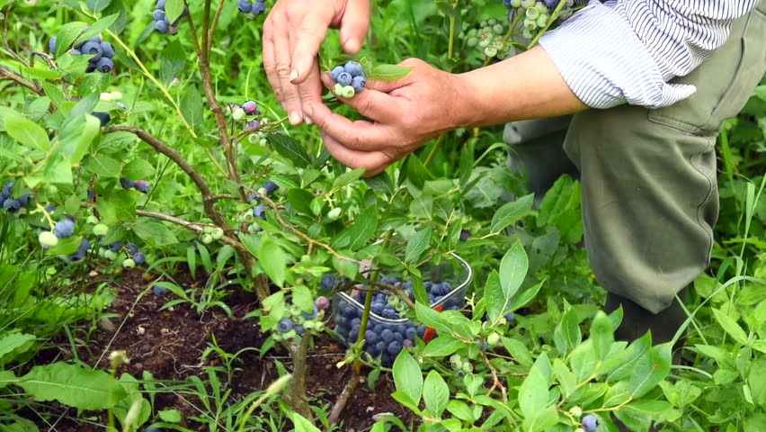 Man Is Picking Blueberries From The Bush   HD Stock Footage Clip