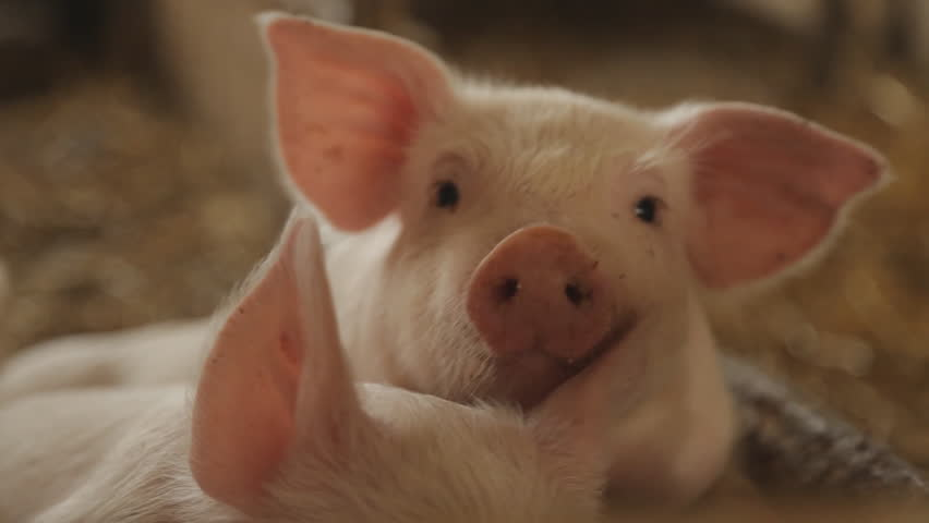Pig nose, eyes. Focus is on nose. Shallow depth of field. | Shutterstock HD Video #17484805