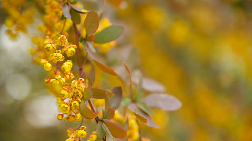 Blooming Berberis Ottawensis Deciduous And Stock Footage Video 100 Royalty Free 17541205 Shutterstock
